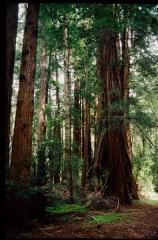 muirwoods0049