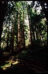 muirwoods0050
