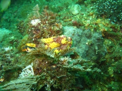 IMG_2468 Warty frogfish
