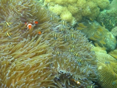 IMG_2474 Banggai Cardinalfish