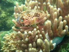 IMG_2615 Porcupine fish