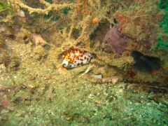 IMG_2633 Tiger Cowrie