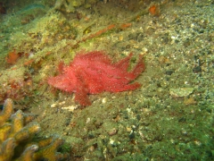 IMG_2636 Ambon scorpionfish
