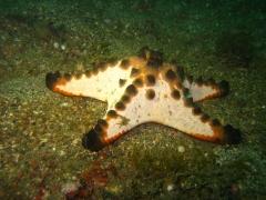 IMG_2642 Horned seastar