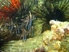 IMG_2655 Banggai Cardinalfish