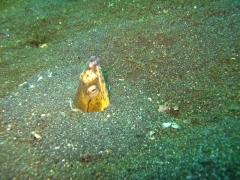 IMG_2700 Black-finned Snake Eel