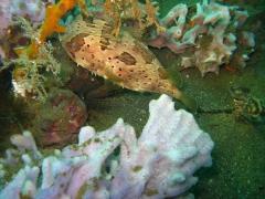 IMG_2713 Porcupine fish