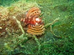 IMG_2737 Twinspot Lionfish