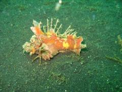 IMG_2747 Devil Scorpionfish