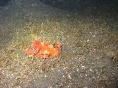 IMG_2770 Devil Scorpionfish