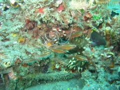 IMG_3055 Banded Boxer Shrimp