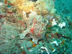 IMG_3061 Giant Frogfish