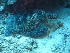 IMG_3131 Green turtle