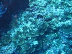 IMG_3158 Trumpetfish