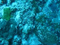 IMG_3268 Trumpetfish