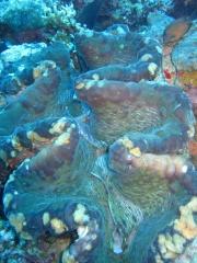 IMG_3297 Giant clam