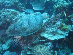 IMG_3305 Green turtle
