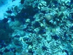 IMG_3318 Tiger fish