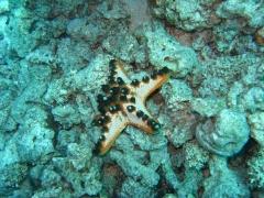 IMG_3323 Horned seastar