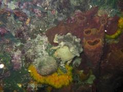 IMG_3355 Sponge crab
