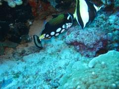 IMG_3366 Clown Triggerfish
