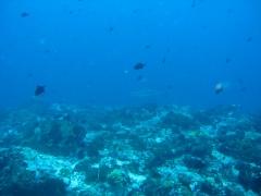 IMG_3367 Black tip reef shark