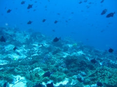 IMG_3368 Black tip reef shark