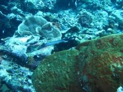 IMG_3373 Trumpetfish