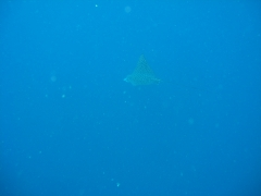 IMG_3410 Eagleray