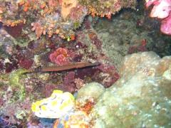 IMG_3411 trumpetfish