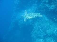 IMG_3424 Green turtle