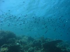 IMG_3527 cornetfish